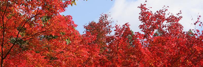 2015最上山公園 もみじ山の紅葉状況